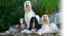 Diane Bauman - Afghanhounds