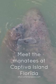 South Seas Island Resort Captiva Island, Florida.  Manatees