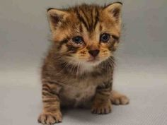 21 DAYS OLD - LAME ON RIGHT HIND LEG - NEEDS BOTTLE FEEDING - MUST BE PULLED BY NEW HOPE RESCUE DUE TO AGE