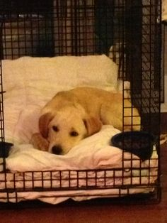 Sammy...he is a very shy boy! Sammy is a Yellow Lab puppy...4 months old and just needs to find a steady family to build his confidence!  ADOPTED!!! Congrats Sammy!