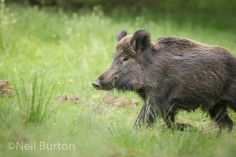 Photograph Spring boar by Neil Burton on 500px