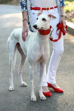 Greyhound - matching collar to  the outfit! So cute!  what a put together duo