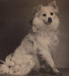 Antique photo postcard Studio signed Spitz Samoyed American Eskimo dog Beauty!