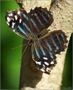Mexican Bluewing, Myscelia ethusa.