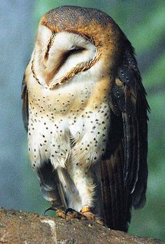 Barn owl by floridapfe on Flickr