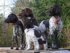 Small Munsterlander Pointer | Pets News