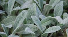 Would love some lamb's ear in our landscape - Stachys Byzantina, Lamb's Ears, Donkey's Ears, Jesus Flannel, silver foliage perennial Best Perennials, Hardy Perennials, Shade Garden, Garden Plants, Herb Gardening, Organic Gardening, Lambs Ear Plant, Stachys Byzantina, Silver Plant