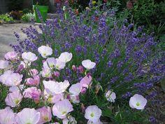 Journeys and Jonquils: Plant Care Profile: Pink Evening Primrose (Oenothera speciosa)