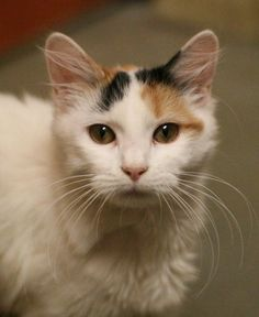 Bridin is an adoptable Domestic Medium Hair - buff and white searching for a forever family near Hudson, MA. Use Petfinder to find adoptable pets in your area.