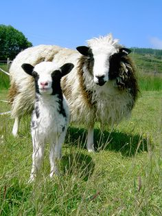 ♥ ~ ♥ Sheep ♥ ~ Jacob Sheep Lamb and Ewe, Jacob sheep have the same coloring as sheep owned by Jacob in the Bible. Strawberry Mouse, Jacob Sheep, Baa Baa Black Sheep, Barnyard Animals, Sheep And Lamb, Horns, Coloring, Bible, Deviantart