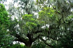 Airlie Gardens mossy oak by char1iej, via Flickr