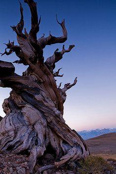 ˚Schulman Grove with Alpine Glow on the Sierras