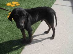 ●TO BE DESTROYED 7•25•16●My name is TITUS. I am a neutered male, black and tan Black and Tan Coonhound mix. I am an adult.I have been at the shelter since Feb 29, 2016.