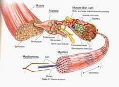 Gross Anatomy Of Skeletal Muscle The Muscular System Micro And Macro Anatomy - Human Anatomy Diagram Skeletal Muscle Anatomy, Body Anatomy, Muscle Diagram, Muscle Knots, Muscle Structure, Cell Structure, Gross Anatomy, Musculoskeletal System, Exercise Physiology