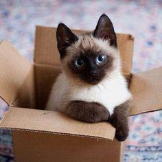 Awww she looks like Nova!!! Veja este link >> http://www.universodegatos.com/gato-siames/ ~ O Gato Siames é uma raça natural, a sua coloração é o resultado de uma mutação genética. Ele tem contribuído para muitas outras raças... descubra agora.