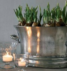 Bulbs planted in pewter