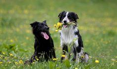 Dat wij als vrijgezelle mensen een partner zoeken via internet en apps, is natuurlijk bekend. Maar wist je dat ook honden via een app op zoek gaan naar een leukafspraakje? De speciale 'Doggydating-app', anderhalf jaar geleden bedacht en geïntroduceerd door Nicole Kinsbergen uit Amsterdam, is met bijna 30.000 ingeschreven honden én hun baasjes, een waar…