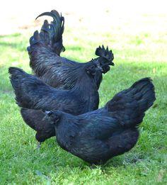 Greenfire Farms Ayam Cemani Juvenile Pair