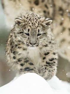 Snow Leopard cub. SO CUTE AND FUZZY