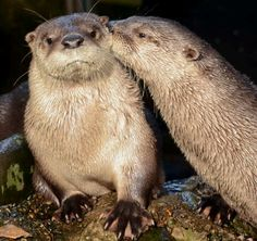 PDA of Otter love