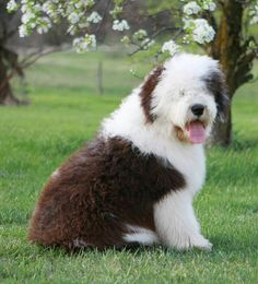 Gru--- Old English Sheepdog puppy or rescue please call or text 214-448-2888 .... texassheepdogpup@gmail.com....Akc Export for Britz Royal Croft family Sheep Dog Puppy, Sheep Dogs, Doggies, Dogs And Puppies, Dog Cat, I Love Dogs, Puppy Love, Old English Sheepdog Puppy, Kinds Of Dogs
