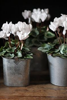I always search for white cyclamen at Christmas. They are my absolute favorite.