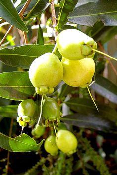 Rose Apples (Syzygium jambos)