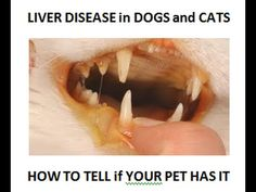 How To Tell if Your Dog or Cat has Liver Disease | Veterinary Secrets Blog with Dr. Andrew Jones, DVM