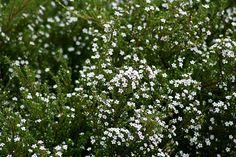 Coleonema pulchrum. Florece en invierno.  Escalera