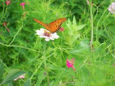 gulf fritillary on a zinnia nectar source in Pontotoc,Ms. in Aug. of 2012
