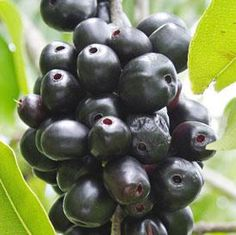 Interesting #Beauty and #Health Benefits of Jamun