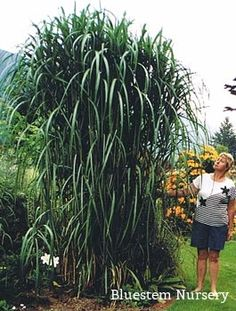Miscanthus giganteus - Giant Chinese Silver Grass