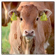 Dierenfotografie: koe
