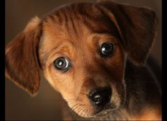 A seven week old Daschund cross puppy waits to be re-homed at the Cheshire Dogs Home on January 4, 2010 in Warrington, England.