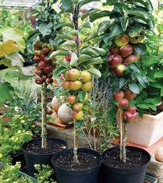 Urban Garden Design motherearthnewsmag: Guide to Urban Homesteading Learn about urban homesteading skills, such as small-scale composting, urban beekeeping, and how to set up a rainwater catchment system. By Rachel Kaplan Photo by maXx Images/mcPhoto - Dwarf Fruit Trees, Fruit Plants, Fruit Garden, Edible Garden, Espalier Fruit Trees, Growing Fruit Trees, Veggie Gardens, Organic Gardening, Gardening Tips