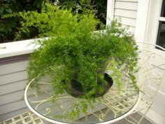Asparagus fern.  Old heirloom favorite houseplant.  Requires little care and looks great in hanging baskets.