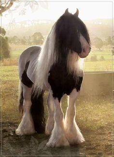 Gypsy%20Vanner%20cob%20horses photo: Paladin gypsy-cob-horse-vanner.jpg. Dream horse!