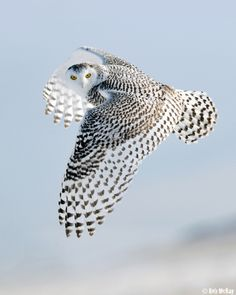 Snowy Owl (Bubo scandiacus) in flight Beautiful Owl, Animals Beautiful, Cute Animals, Stunningly Beautiful, Absolutely Stunning, Dead Gorgeous, Beautiful Patterns, Owl Always Love You, Tier Fotos