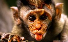 Funny Monkeys - Funny Animal Videos Compilation of the Funniest Animals Animals And Pets, Baby Animals, Funny Animals, Cute Animals, Funniest Animals, Pretty Animals, Strange Animals, Wild Animals, Primates