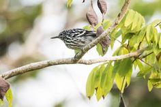 Foto choquinha-do-tapajós (Myrmotherula klagesi) por Luiz Bravo