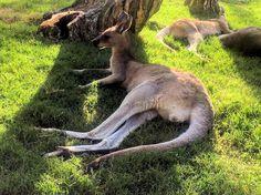 That time I went to Australia and got to hangout with kangaroos (and was terrified)   #aussie #australia #australiagram #straya #australianlife #kangaroo #currumbin #currumbinwildlifesanctuary #kangaroos #wildlife #landdownunder #travel #travelgram #gopro #tbt #throwback by ___gracie http://ift.tt/1X9mXhV