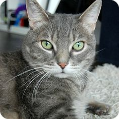 Toronto, ON - Domestic Shorthair. Meet Squeak *declawed* a Cat for Adoption.