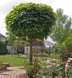 robinia pseudo 39 umbraculifera 39 kugel robinie xxl produkt gardens garden ideas and flowers. Black Bedroom Furniture Sets. Home Design Ideas