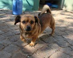 Theresa South Africa, Corgi, Adoption, Pets, Shop, Animals, Foster Care Adoption, Corgis, Animales