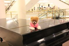 Boo, The World's Cutest Dog: Enjoying the view inside Nordstrom. Sooo cute! #boo