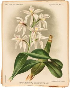 800+ chromolithographs of orchids : Lot 15