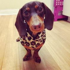 Ariel the Dachshund on @Puppystream .me .me .me .me .me! She's such a cutie!