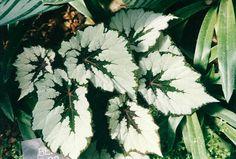 """Begonia rex """"Little Keepsake""""."""