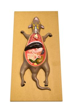 "Eisco Labs Male Rat / Mouse Dissection Anatomical Model 24"" x 12 Base"