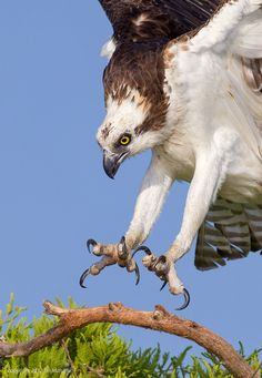 ..Osprey Talons by Tin Man.. Coming in for the landing, landing gear out, check... runway clear, check